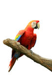 Red isolated parrot Stock Photo
