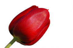 Red isolated tulip Royalty Free Stock Image