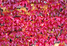Red ivy. Stone wall covered with red ivy leafs stock photos