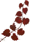 Red ivy. Composition of red ivy on a white background Royalty Free Stock Photos