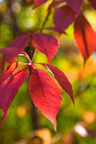 Red ivy. A autumn red ivy leaves stock image