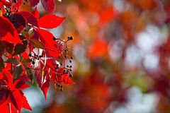Red ivy. Autumn, nature background royalty free stock images