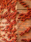 Red ivy on a brick wall Stock Images