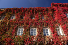 Red ivy on a building. Wall. Grodno State University Yanka Kupala Belarus royalty free stock photo