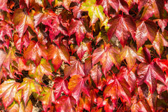 Red ivy close-up. Landscaped close-up of a colorful, shiny and natural looking red ivy on a wall in Scotland, UK. The ambient bright light highlights the Royalty Free Stock Images