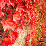 Red Ivy Creeper Leaves on the stone wall. Stock Image