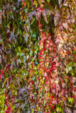 Red ivy creeper leaves Stock Photos