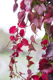 Red ivy creeper leaves Royalty Free Stock Images