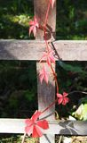A red ivy on fence. A red ivy on a wood fence royalty free stock image