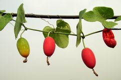 Red Ivy Gourd. On wire stock photography