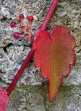 Red Ivy on Gray Wall. Red ivy showing the suckers clinging to the wall Royalty Free Stock Photos