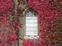 Red ivy growing around arched window. Thick red ivy growing on wall with old stone arched windows stock images