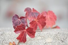 Red Ivy growing over cement ledge Royalty Free Stock Images