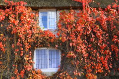 Red ivy Stock Photography