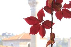 Close-up of a branch of red ivy with the washed away silhouette of a Turkish mosque in the background stock image