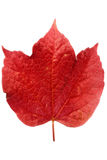 Red ivy leaf. A bright red ivy leaf Royalty Free Stock Photography