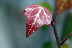 Red ivy leaf. A bright red ivy leaf on the branch royalty free stock photos