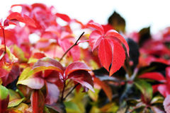 Red ivy leaves Stock Photography