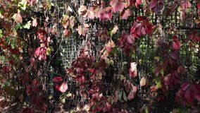 Red ivy leaves in autumn park. Beautiful fence of red ivy leaves stock video