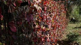 Red ivy leaves in autumn park. Beautiful fence of red ivy leaves .Full HD 1920 x 1080, 29,97 fps stock video