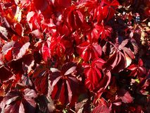 Red ivy leaves stock photo