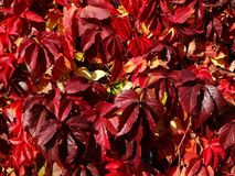 Red ivy leaves stock photos