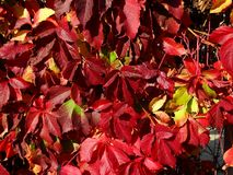 Red ivy leaves royalty free stock photography