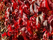 Red ivy leaves royalty free stock photo
