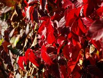 Red ivy leaves stock images
