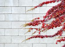 Red ivy leaves in autumn on a white wall Royalty Free Stock Photo