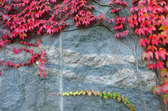 Red ivy leaves on a big rock Royalty Free Stock Photo