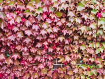 Red Ivy Leaves Climbing on The Old Wall. The Red Ivy Leaves Climbing on The Old Wall of Hokkaido Factory Royalty Free Stock Photo