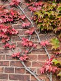 Red Ivy Leaves Climbing on The Old Wall. The Red Ivy Leaves Climbing on The Old Wall of Hokkaido Factory Stock Image