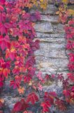 Red ivy leaves on a stone wall royalty free stock photography