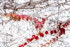 Red ivy leaves on vine against white wal. Beautiful red ivy leaves on vine against white wall background stock photo