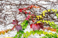 Red ivy leaves on vine against white wal. Beautiful red ivy leaves on vine against white wall background stock images