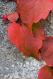 Red Ivy Pattern. Red Ivy climbing up a concrete wall Royalty Free Stock Photography
