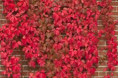 Red ivy. On a brick wall royalty free stock photo