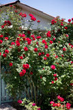 Red ivy roses. In the garden on wooden arbor Stock Photos
