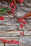 Red ivy on stone wall. Grey stone wall of an Athenian house in autumn half-covered by red ivy parthenocissus or virginia creeper. Abstract royalty free stock photo