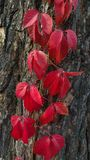 Red ivy on the tree.  stock image