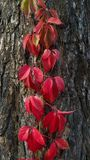 Red ivy on the tree.  stock photo