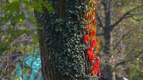 Red ivy on a tree in the woods. In autumn, in October stock photography