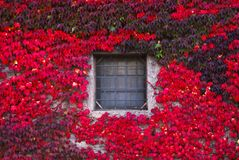Red ivy on the wall. Window surrounded by red ivy royalty free stock photos