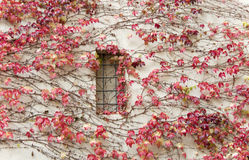 Red ivy on a wall. A background horizontally Royalty Free Stock Photo