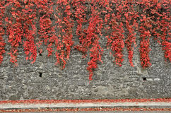 Red ivy Stock Image
