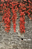 Red ivy Royalty Free Stock Photography