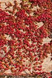 Red ivy on a wall. Red ivy covering old brick wall royalty free stock photography