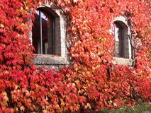Red Ivy Walls. The wall of a house covered by red autumn ivy leaves royalty free stock image