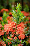 Red Ixora. Close up of red Ixora Stock Photo